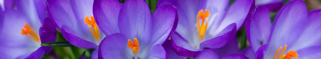 Purple-crocus-flowers-charity-B2